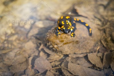 Poisonous fire salamander observing on rock in sunlight