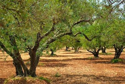 Olive trees Olea europaea in Crete, Greece for olive oil production