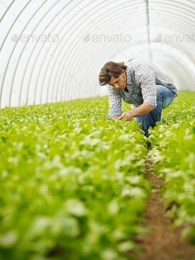 Man Working As Farmer In Greenhouse