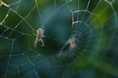 Cross spider sitting on web in summertime morning