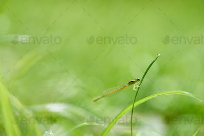 Damselfly perched on the grass blade