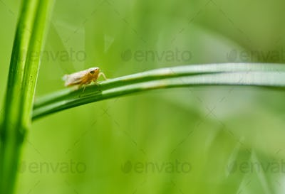 An aphid perched on the grass blade