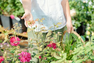 Hand of young contemporary female gardener holding leaves of growing roses