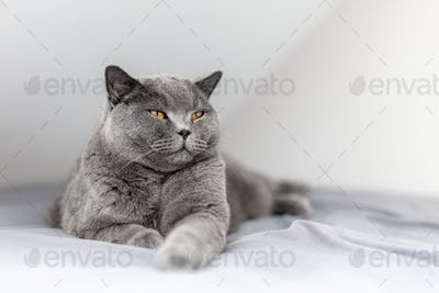 Happy British cat smiling with his eyes closed when lying on bed