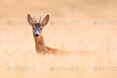 Alert roe deer buck hiding on a grain field and looking into camera in summer