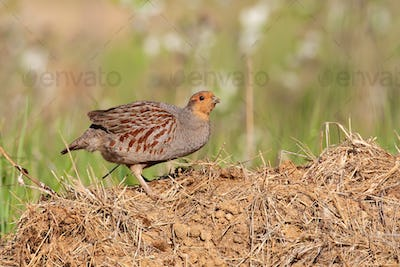 Little grey partridge standing on ground in summer sun