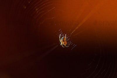 Little spider weaves web on dark brown background