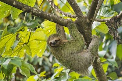 Pale-throated Sloth, Three-toed Sloth, Marino Ballena National Park, Costa Rica