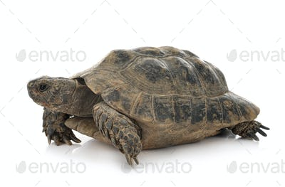 Greek tortoise in studio