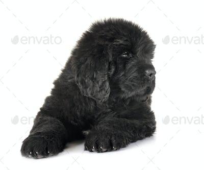 puppy newfoundland dog