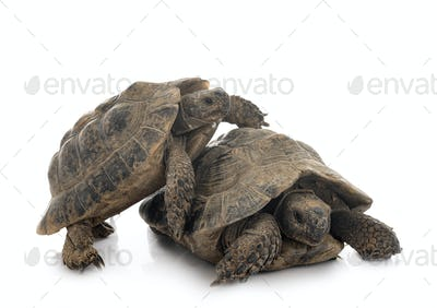 Greek tortoises in studio