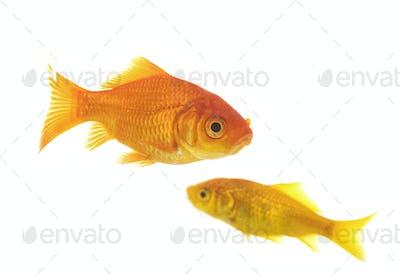 goldfish in studio