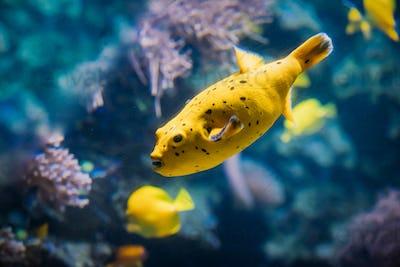 Yellow Blackspotted Puffer Or Dog-faced Puffer Fish Arothron Nigropunctatus Swimming In Water. If
