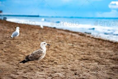 Seagull on the sandy beach