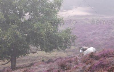 white horse walks in pink heather flowers