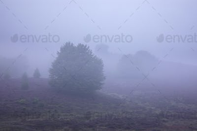 hills with flowering heather in dense fog