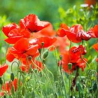 cornflowers and red Poppy