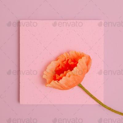 Poppy on a pink background. Minimal