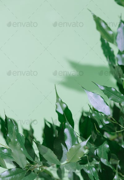 Ficus plant on mint wall background. Fresh green concept
