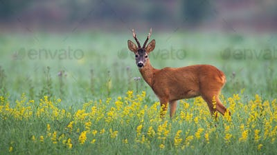 Cute roe deer buck looking into camera on a summer morning