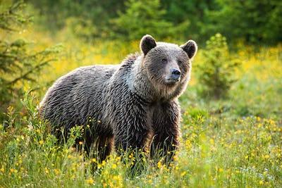 Surprised brown bear listening on a fresh meadow in springtime