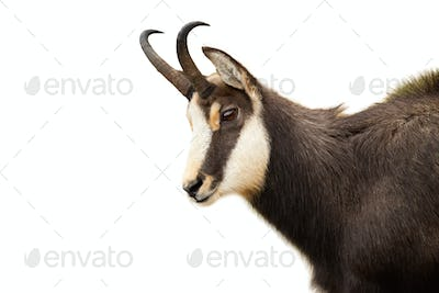 Tatra chamois looking down isolated on white background