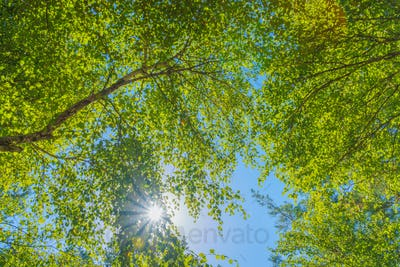 View from under the old tree in the birch forest