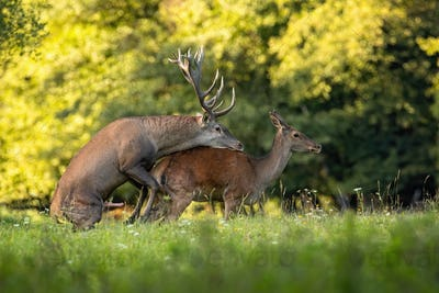 Couple of red deer copulating on meadow in rutting season