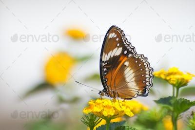 Great Eggfly Butterflies Sitting on a Flower