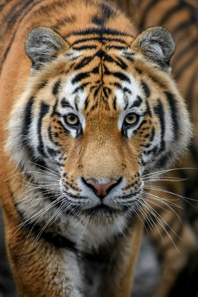 Close-up detail portrait of big Siberian or Amur tiger