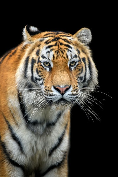 Close up Siberian or Amur tiger on black background