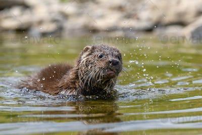 Lutra in nature habitat. Portrait of water predator