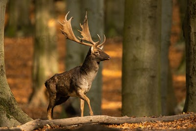 Majestic fallow deer stag walking in sunny autumn forest with copy space
