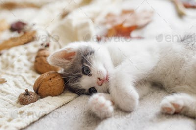 Cute white and grey kitty playing with fall decorations on bed in room