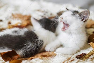Adorable kittens resting in autumn leaves on soft blanket