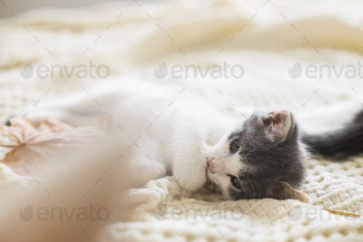 Adorable kitten playing with autumn leaves on soft blanket