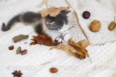 Adorable kitten playing with autumn leaves and acorns on soft blanket