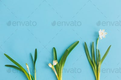 Spring flowers growing cycle on blue background flat lay