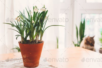 Spring flowers growing in clay pots on rustic table on background of cat and window