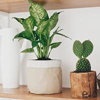 Stylish wooden shelves with modern green plants and white watering can