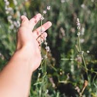 Beautiful lavender flowers in sunny light in meadow