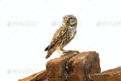 Little owl sitting on brick isolated on white background