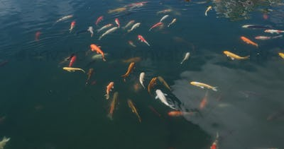 Koi fish in water pond