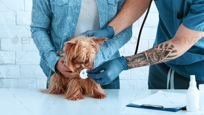Pet owner with Yorkshire terrier on visit to vet doc at animal clinic, closeup of hands
