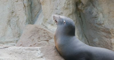 Sea lion lying on the rock