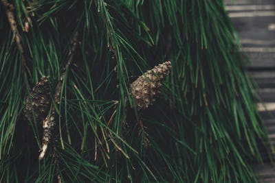 christmas tree fir branches and pine cones top view
