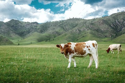 Cows graze on ecological meadows in the mountains