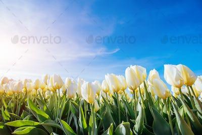 Yellow tulip field in Holland