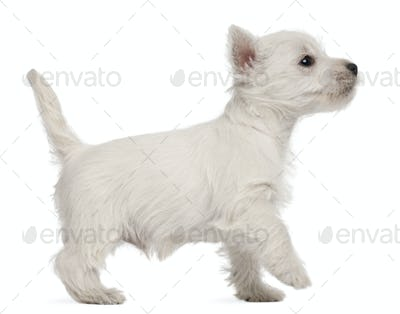 West Highland Terrier puppy, 7 weeks old, in front of white background