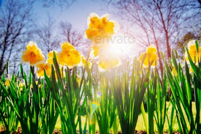 Yellow Daffodils in the gardens of Holland